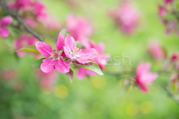 Spring nature background with pink blossom flower Stock photo © rafalstachura
