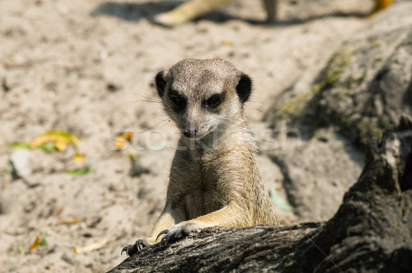 Abrir jardim zoológico olhando fora parque animal Foto stock © rafalstachura