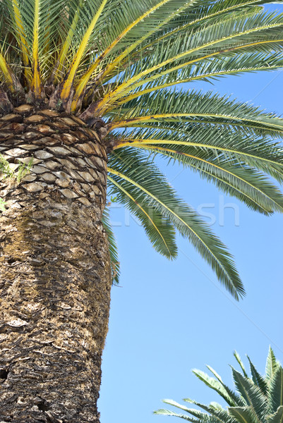 Palma alto cielo blu natura estate Palm Foto d'archivio © rafalstachura