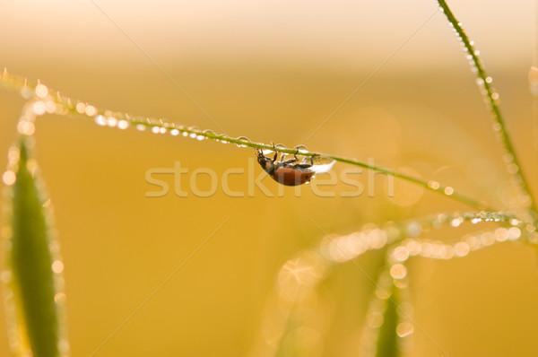 Ladybug трава покрытый капли воды воды Сток-фото © rafalstachura
