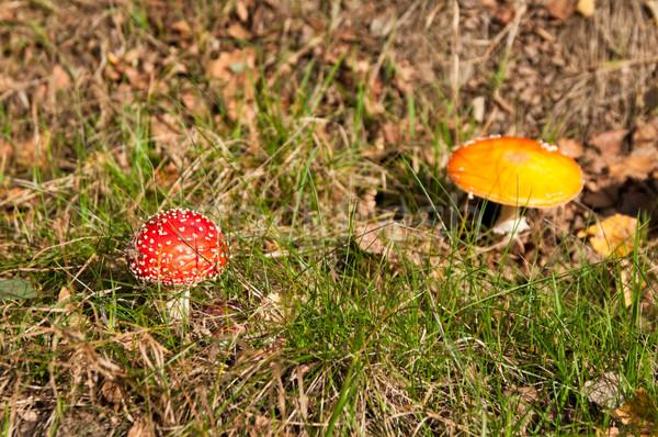 Mushroom Stock photo © rafalstachura