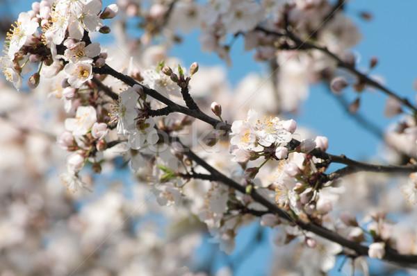 árvore frutífera flores branco blue sky árvore natureza Foto stock © rafalstachura