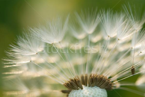 Pissenlit résumé fond beauté plumes Photo stock © rafalstachura