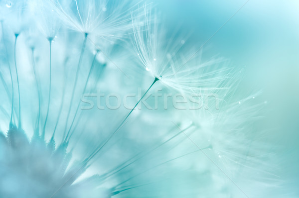 Paardebloem abstract ondiep bloem zomer Stockfoto © rafalstachura