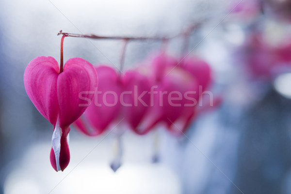 Fleur forme de coeur printemps jardin usine japonais Photo stock © rafalstachura