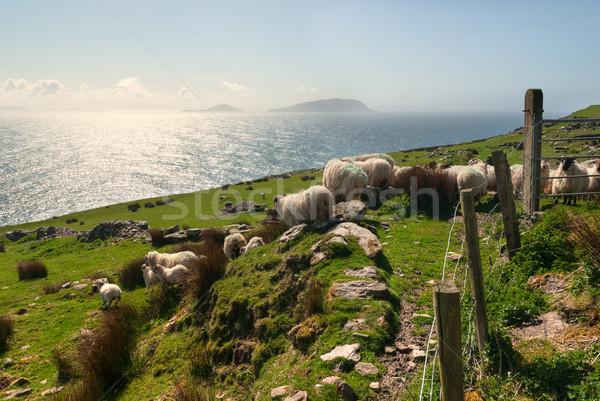 Sheep on grassy fields Stock photo © rafalstachura