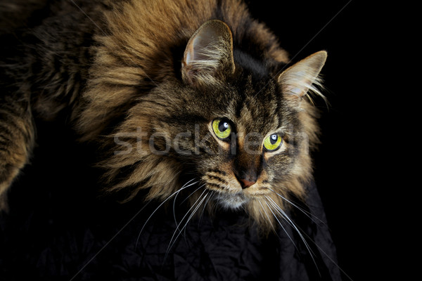 Chat regarder Maine yeux verts vers le bas noir Photo stock © ralanscott