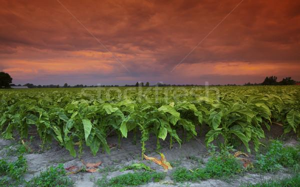 Tabak Feind Foto aussehen wie Film Stock foto © ralanscott