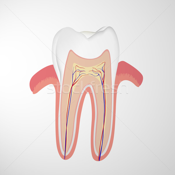 Vector Tooth Stock photo © RamonaKaulitzki