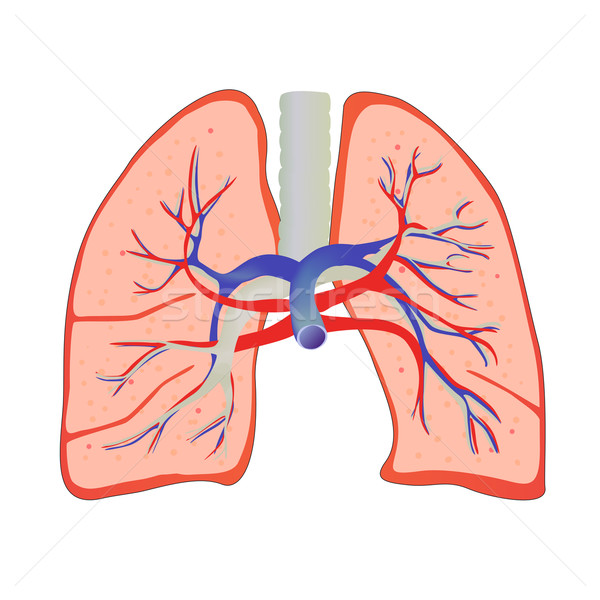 Stock photo: vector human lungs and bronchial system