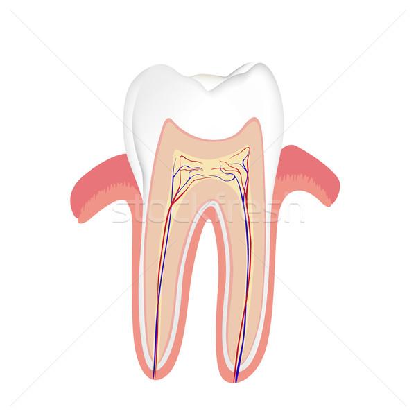 вектора человека зубов анатомии науки стоматологических Сток-фото © RamonaKaulitzki