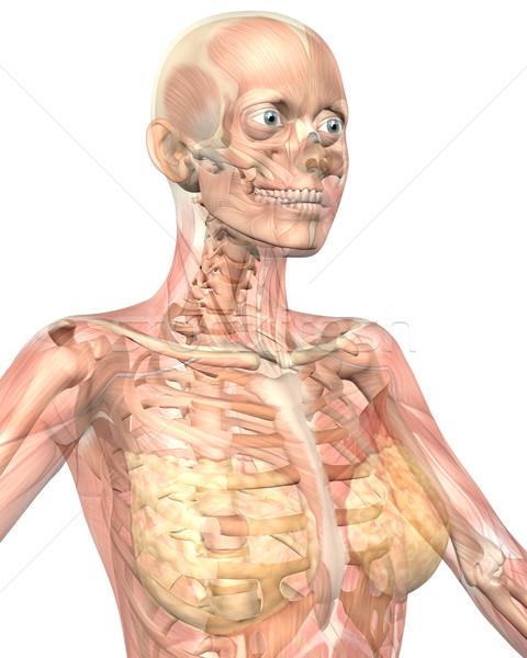 женщины мышечный анатомии прозрачный мнение Сток-фото © RandallReedPhoto