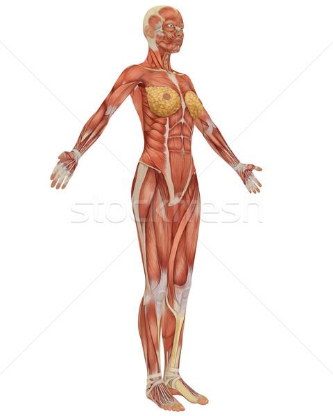 女性 筋肉の 解剖 側面図 筋 女性 ストックフォト © RandallReedPhoto