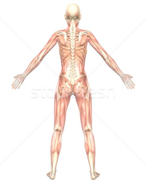 Female Muscular Anatomy Semi Transparent Rear View Stock photo © RandallReedPhoto