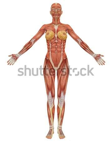 Masculina muscular anatomía frente vista ilustración Foto stock © RandallReedPhoto