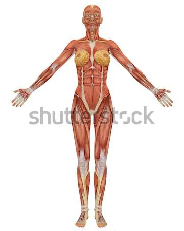 Männlich muskuläre Anatomie Vorderseite Ansicht Illustration Stock foto © RandallReedPhoto