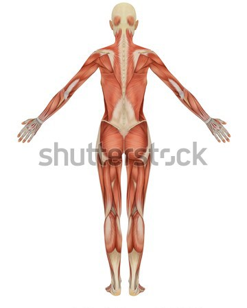 Male Muscular Skeleton Split Rear View Stock photo © RandallReedPhoto