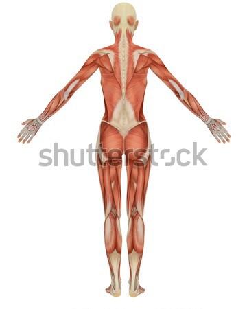 Férfi izmos csontváz hátsó nézet hátsó kilátás Stock fotó © RandallReedPhoto