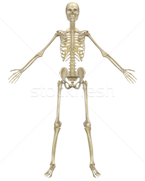 Human Skeleton Anatomy Front View Stock photo © RandallReedPhoto