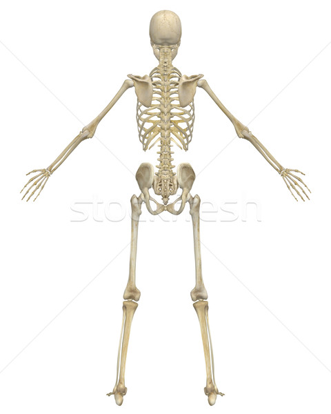 human skeleton anatomy rear view stock photo © randall reed, Skeleton