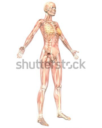 Male Muscular Anatomy Angled Rear View Stock photo © RandallReedPhoto