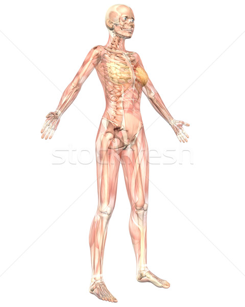 Female Muscular Anatomy Semi Transparent Angled Front View Stock photo © RandallReedPhoto