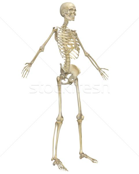 Emberi csontváz anatómia elöl kilátás illusztráció Stock fotó © RandallReedPhoto