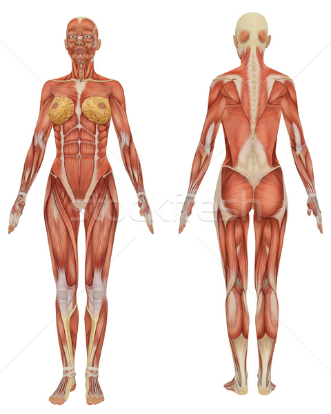 Female Muscular Anatomy Front and Rear View  Stock photo © RandallReedPhoto