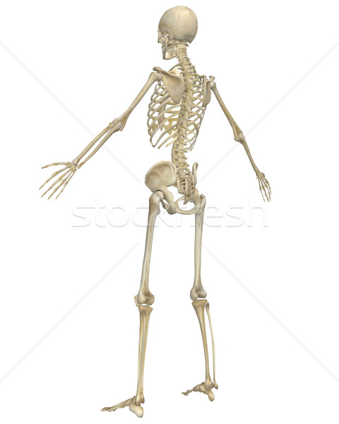 Human Skeleton Anatomy Angled Rear View Stock photo © RandallReedPhoto