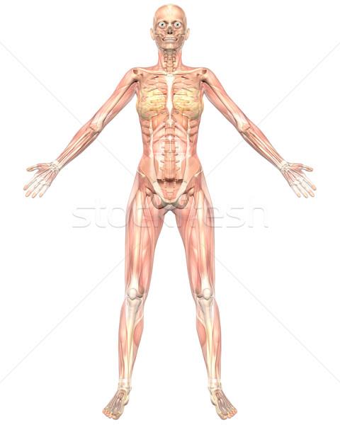 Vrouwelijke gespierd anatomie transparant Stockfoto © RandallReedPhoto