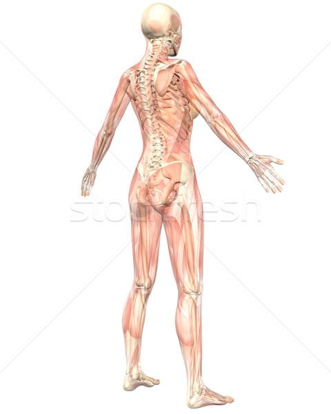 女性 筋肉の 解剖 透明な 背面図 実例 ストックフォト © RandallReedPhoto