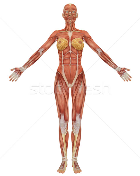 Female Muscular Anatomy Front View Stock photo © RandallReedPhoto