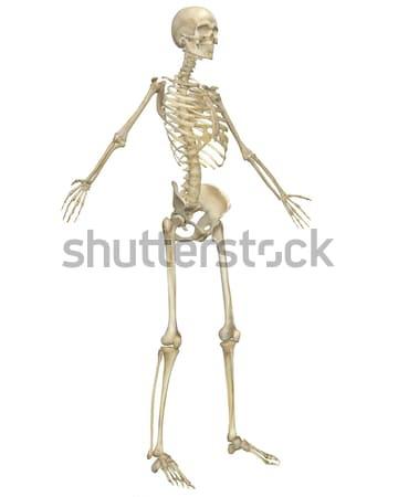 人間 スケルトン 解剖 側面図 実例 ストックフォト © RandallReedPhoto