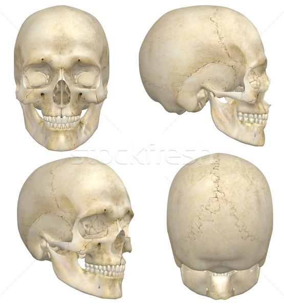 人間 頭蓋骨 実例 4 フロント サイド ストックフォト © RandallReedPhoto