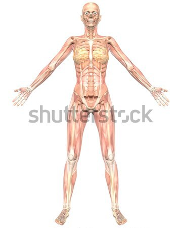 Male Muscular Anatomy Rear View Stock photo © RandallReedPhoto