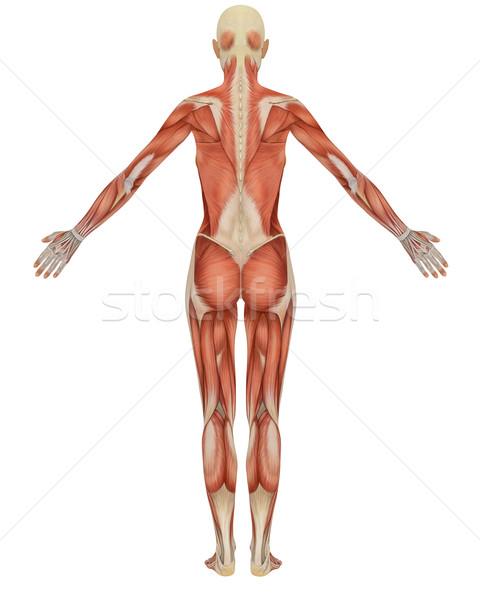 女性 筋肉の 解剖 背面図 筋 女性 ストックフォト © RandallReedPhoto