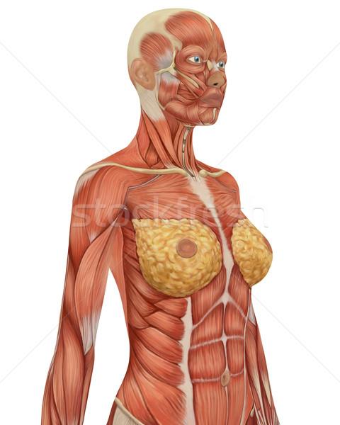 女性 筋肉の 解剖 ボディ 表示 筋 ストックフォト © RandallReedPhoto