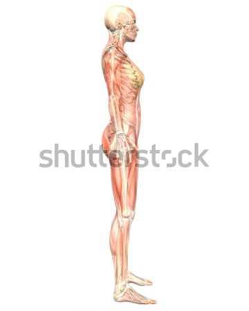 女性 筋肉の 解剖 透明な 側面図 実例 ストックフォト © RandallReedPhoto