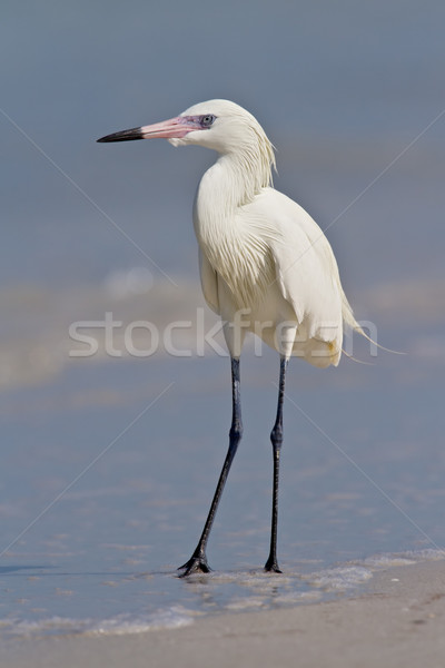 Reddish Egret (Egretta rufescens) Stock photo © raptorcaptor