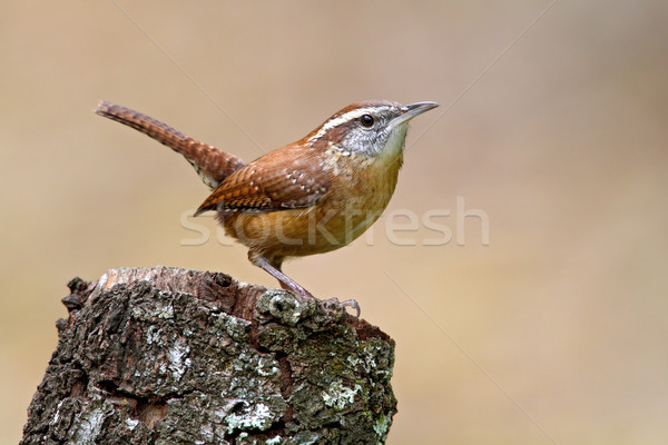Carolina Wren (Thryothorus ludovicianus) Stock photo © raptorcaptor