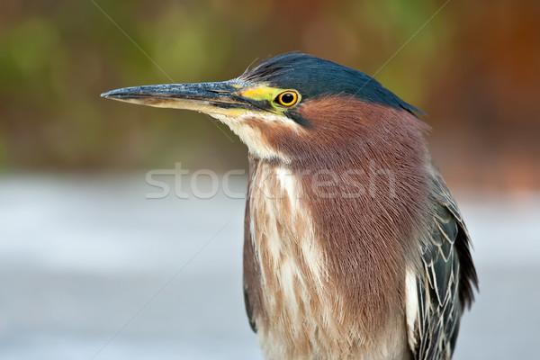 Yeşil balıkçıl atış yetişkin Stok fotoğraf © raptorcaptor