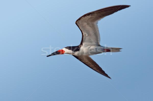 Zwarte vliegen Blauw Stockfoto © raptorcaptor