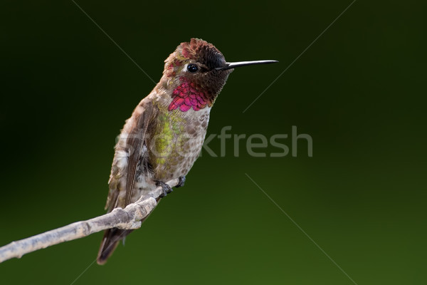 ストックフォト: ハチドリ · 男性 · 暗い · 緑 · 鳥