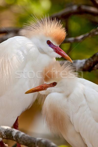 Cattle Egrets (Bubulcus ibis) Stock photo © raptorcaptor