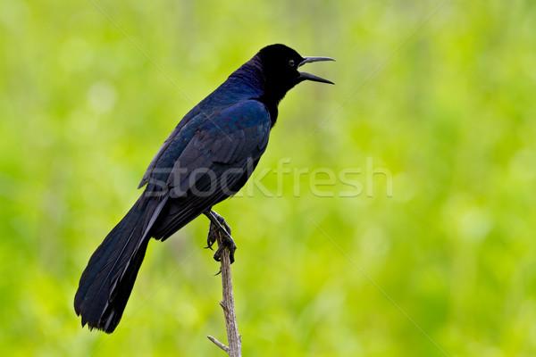 男性 薄い スティック 緑 自然 鳥 ストックフォト © raptorcaptor