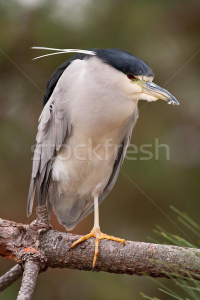 Black-crowned Night-Heron (Nycticorax nycticorax) Stock photo © raptorcaptor