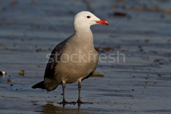 Yetişkin üreme tüyler ayakta ıslak plaj Stok fotoğraf © raptorcaptor