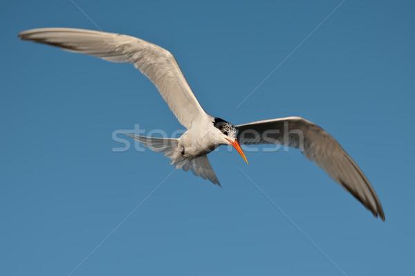 Elegante vuelo cielo azul Foto stock © raptorcaptor
