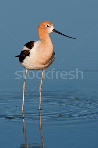 Americano adulto superficial estanque Foto stock © raptorcaptor