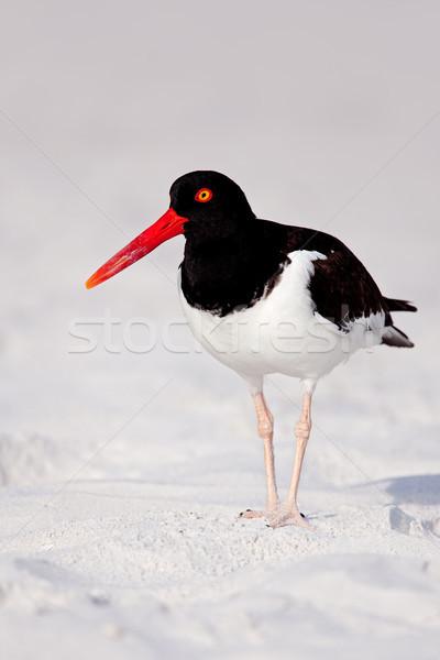 ストックフォト: アメリカン · 成人 · 砂浜 · 鳥